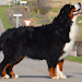Download Bernese Mountain Dogs Jigsaw 1.0 APK